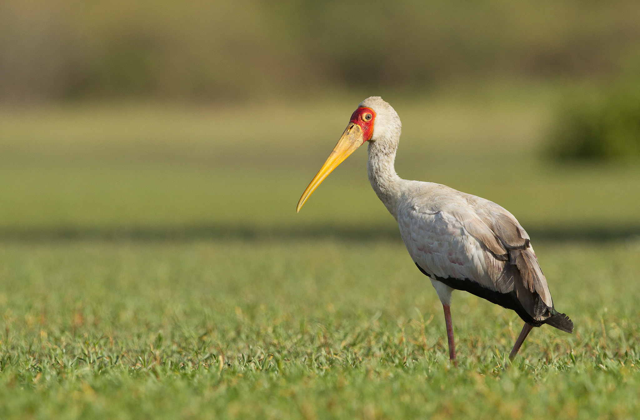 Photograph Yellow-billed Stork by Ian Billenness on 500px
