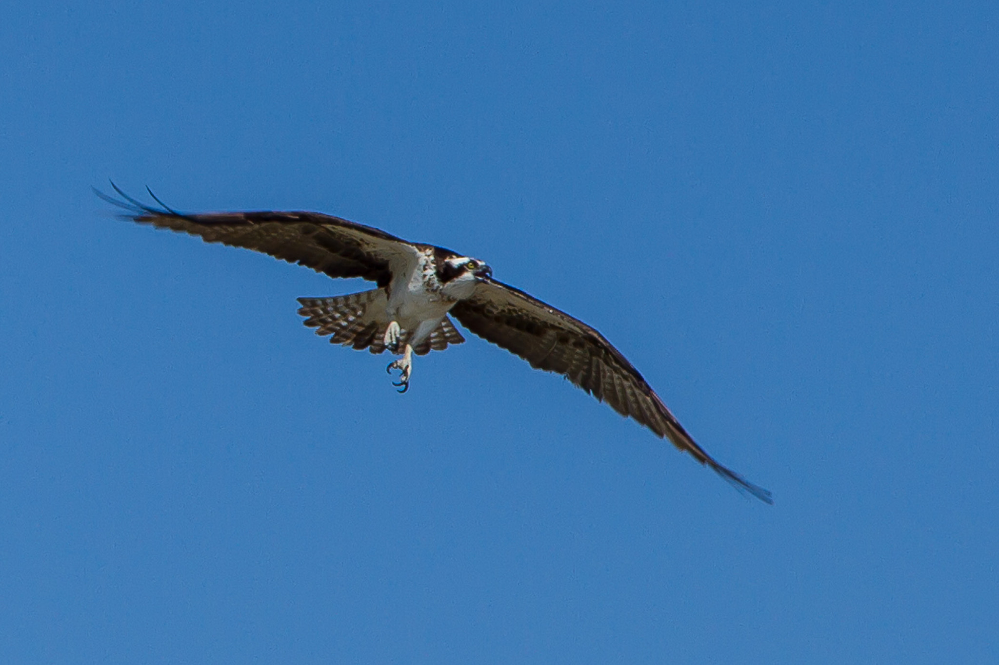 Photograph osprey landing by Axel Kuenne on 500px