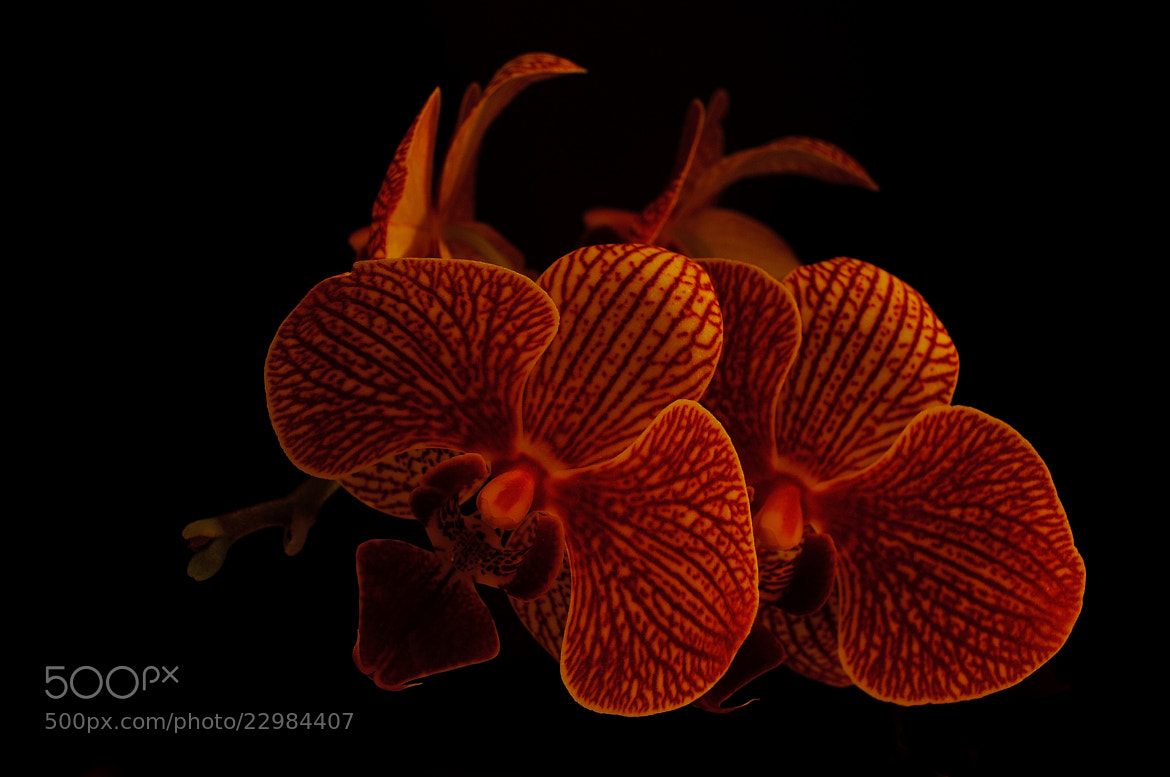 Photograph Orchid by B Timmer on 500px