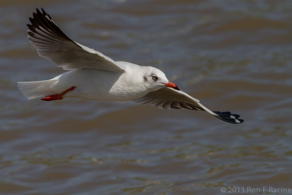Photograph Brown-Headed Gull in Flight by Ron E Racine on 500px