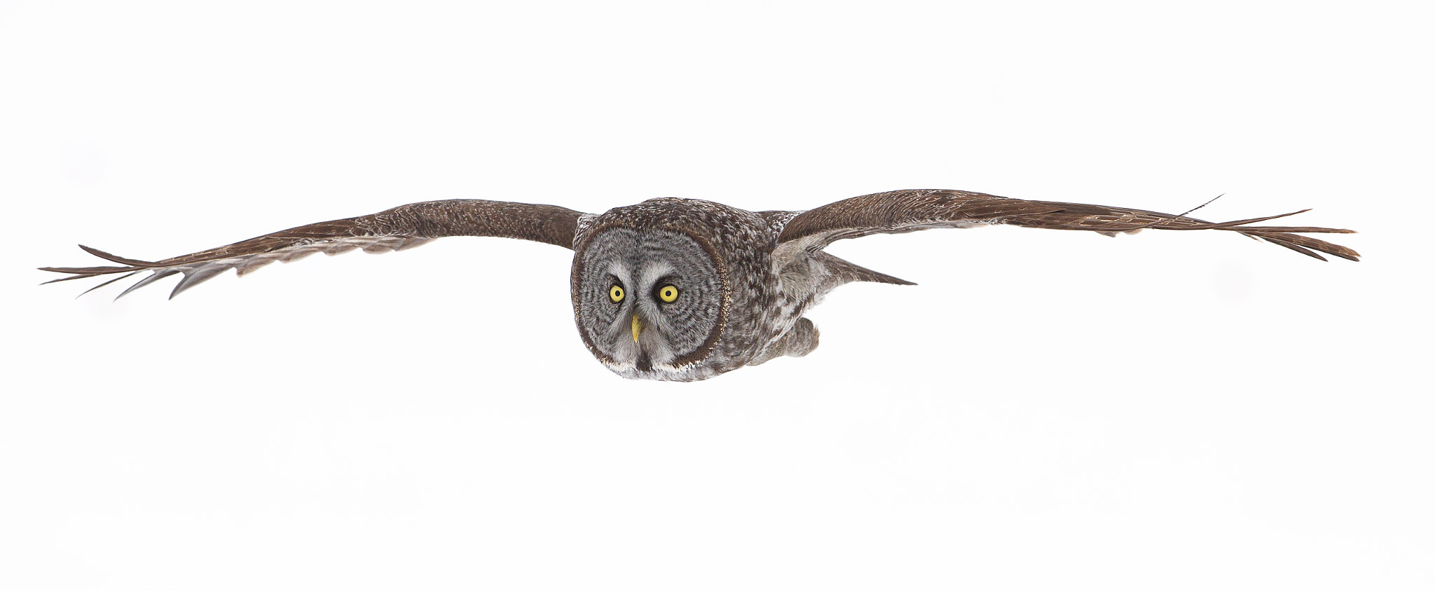Photograph Soaring - Great Grey Owl by Jim Cumming on 500px