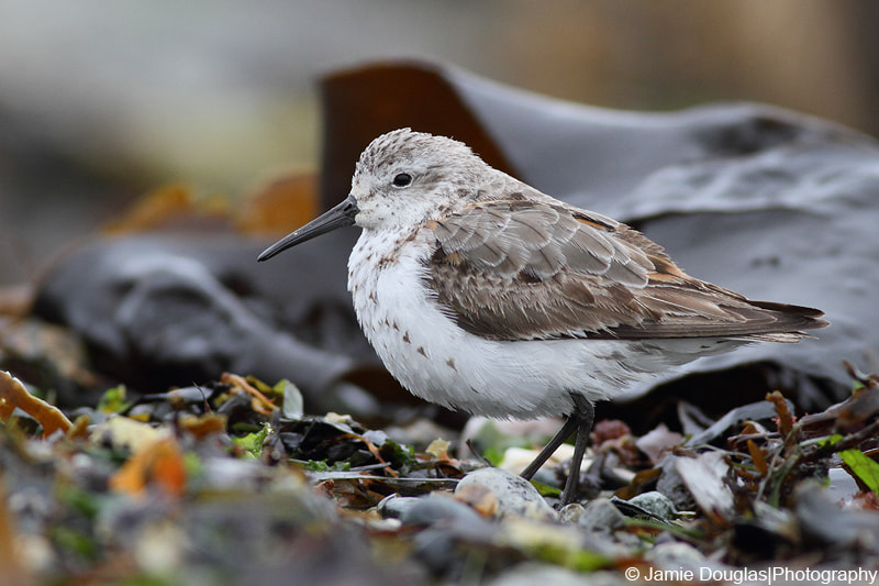 Photograph Dunlin by Jamie Douglas on 500px