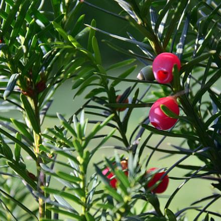 Taxus baccata- European yew-tisa-tiszafa