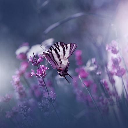 Lavender Queen...
