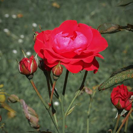 pure rose