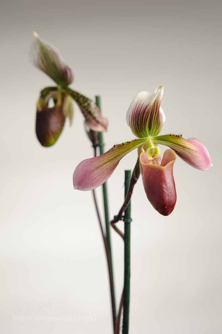 Photograph Orchid by Siegfried Mairböck on 500px