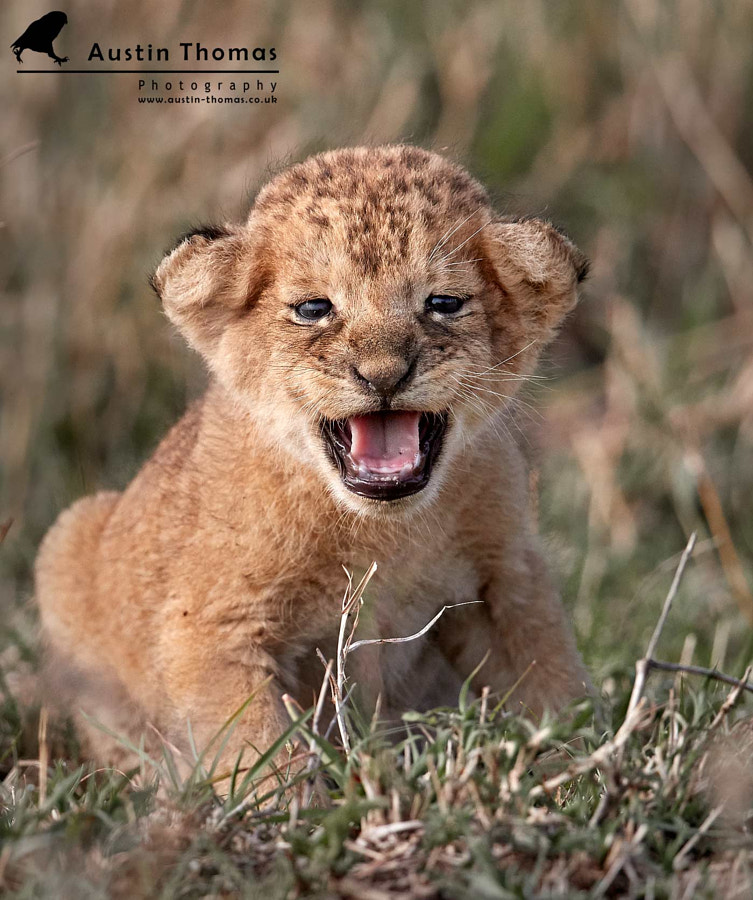 A new born Lion Cub anyone?