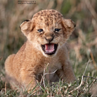 A new born Lion Cub anyone?