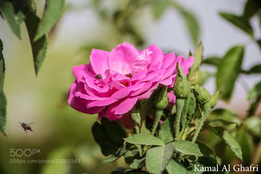 Photograph Rose and Bee by Kamal AL Ghafri on 500px