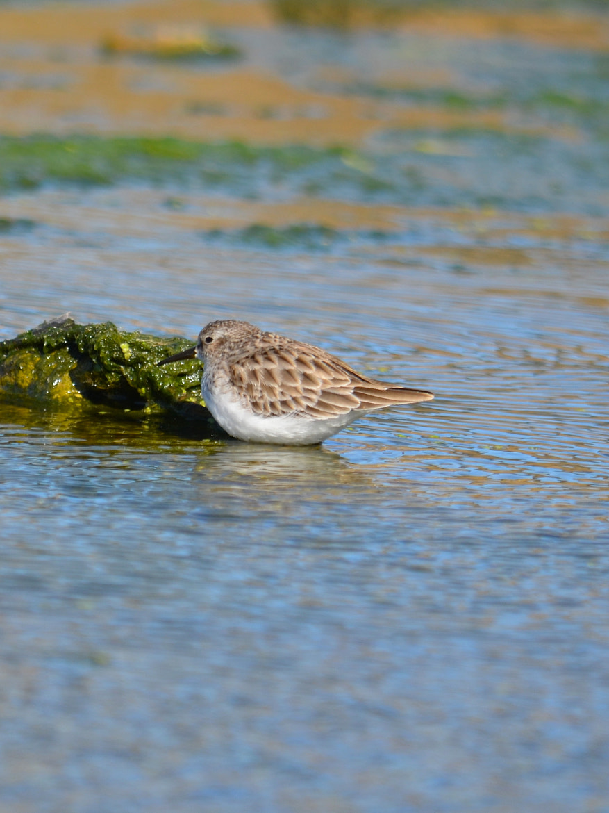 Photograph Least Sandpiper by Steven Bach on 500px