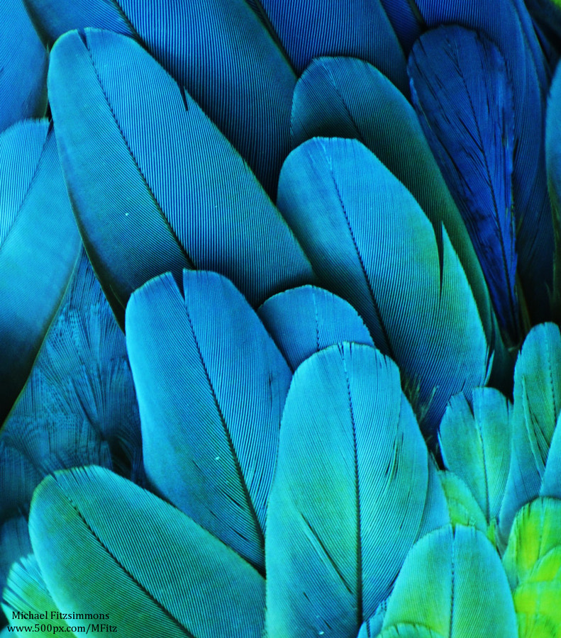Macaw Feathers by Michael Fitzsimmons on 500px.com