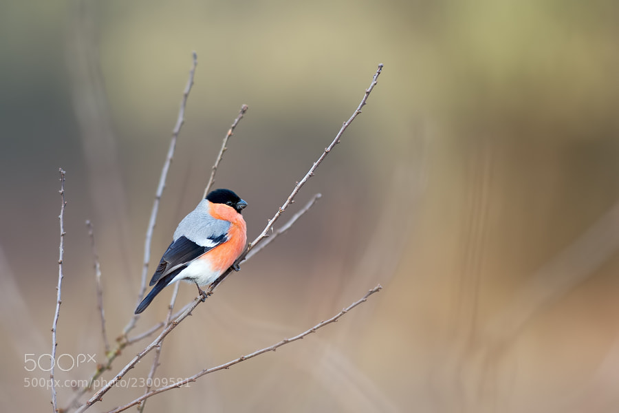 Photograph Bullfinch by Stéphane ABCDEF on 500px