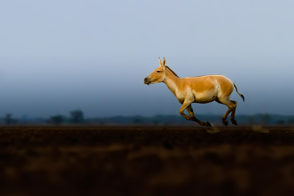 Photograph Indian wild ass by Nitin  Prabhudesai on 500px
