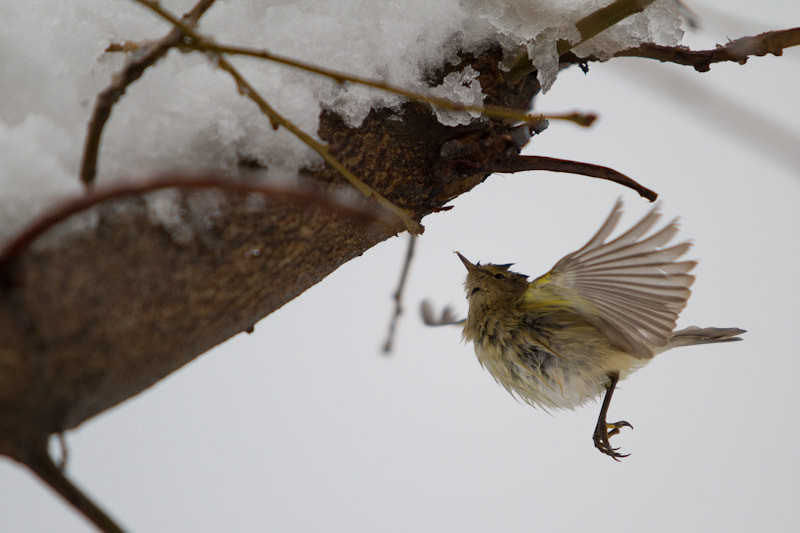 Photograph Common Chiffchaff by Marro Stanislav on 500px