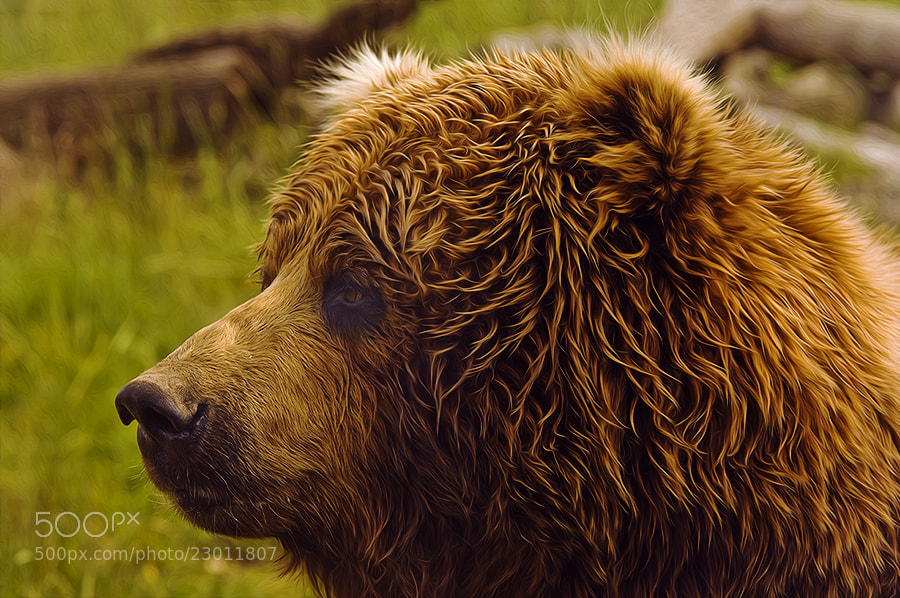 Photograph Golden Bear by Rick Lundh on 500px