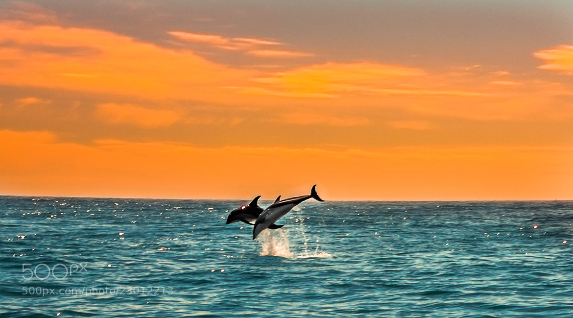Photograph Jumping Dolphins  by Rebecca Healee on 500px