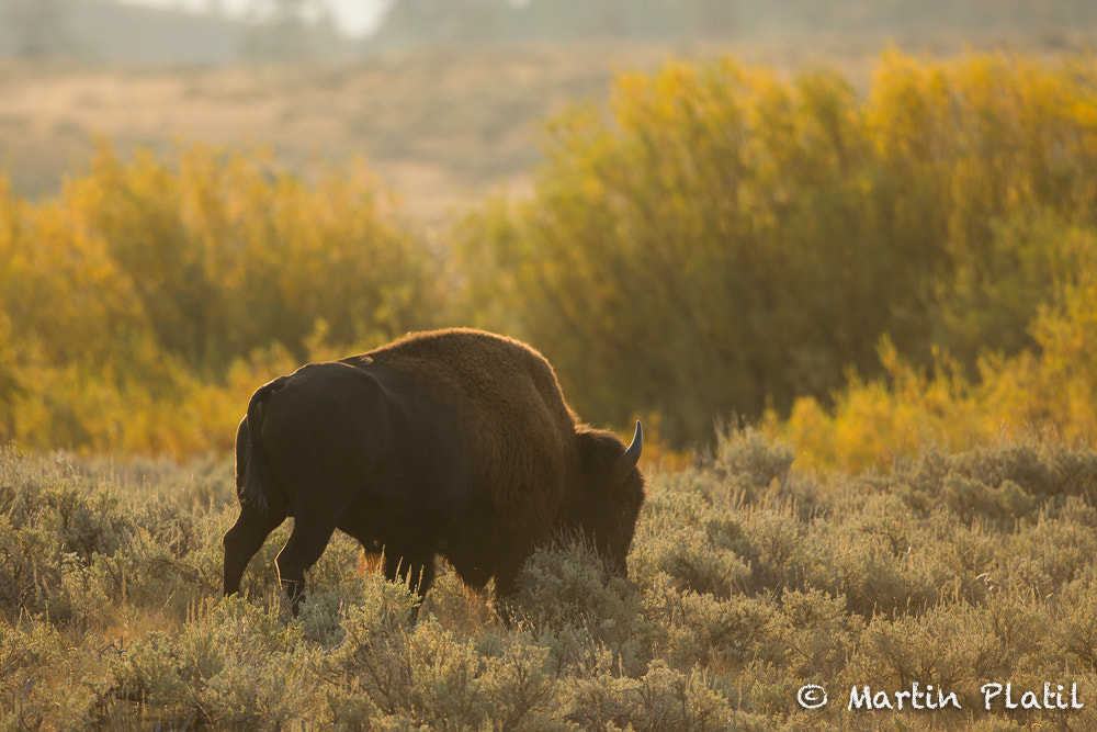 Photograph Early fall and Bison by Martin Platil on 500px