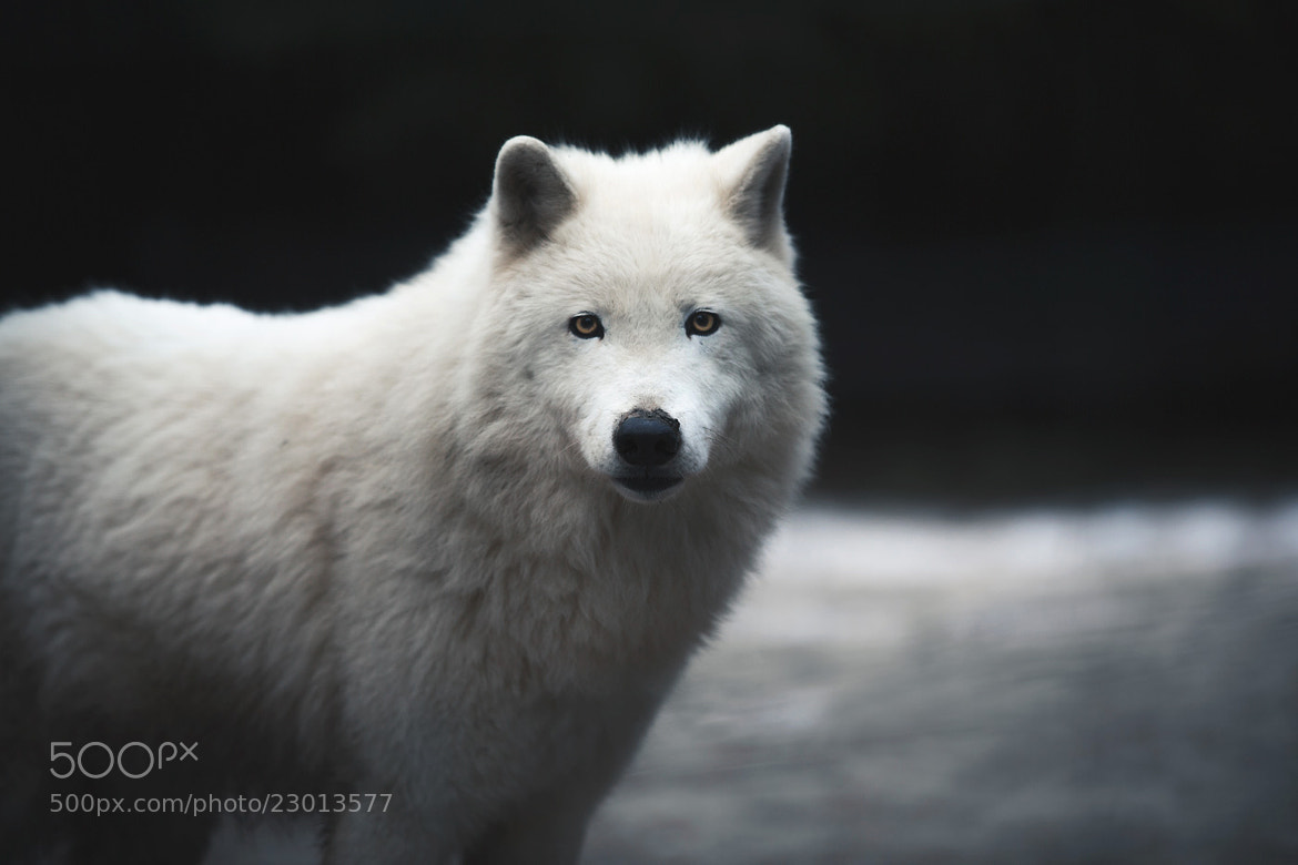 Photograph The White Wolf by Alex Teuscher on 500px