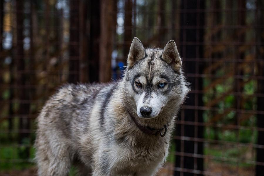 huskyparkrovaniemi by Simo Ikävalko on 500px.com