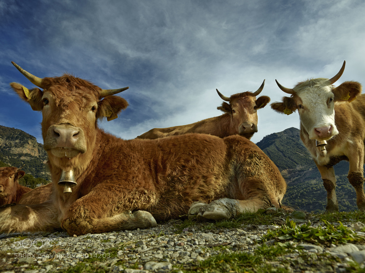 Photograph The three cows by Fokion Zissiadis on 500px