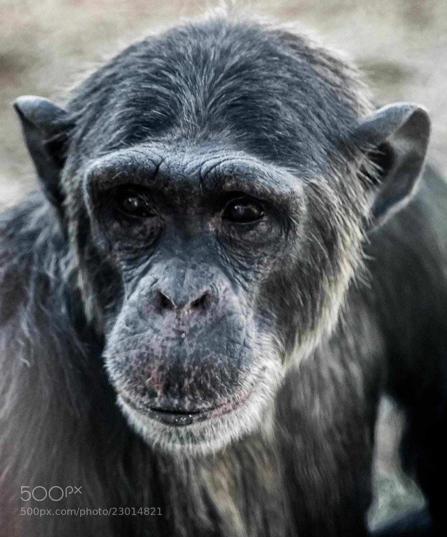 Photograph chimpanzee by julian john on 500px