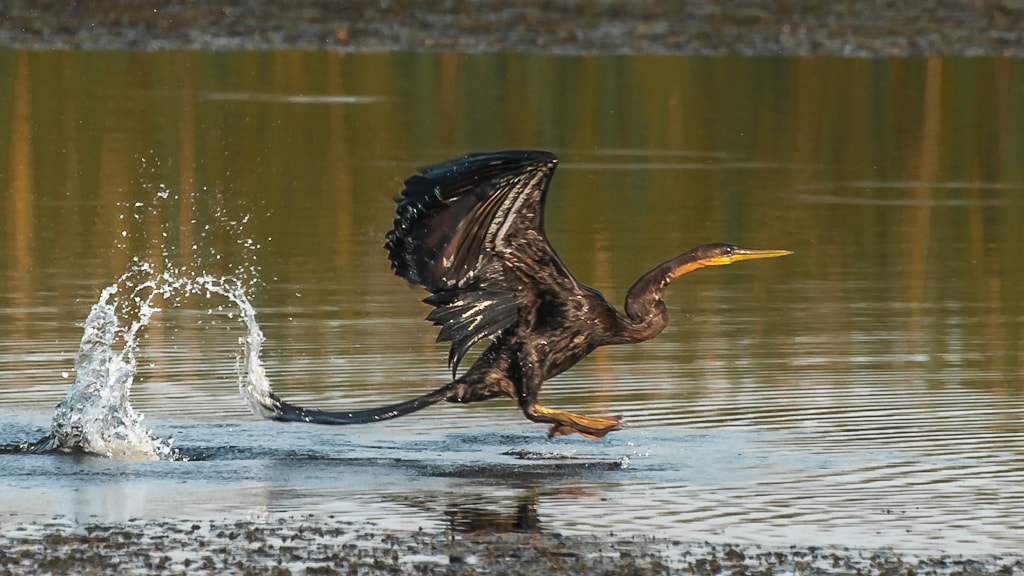 Photograph Darter tailflip on takeoff by Marc Leroy on 500px