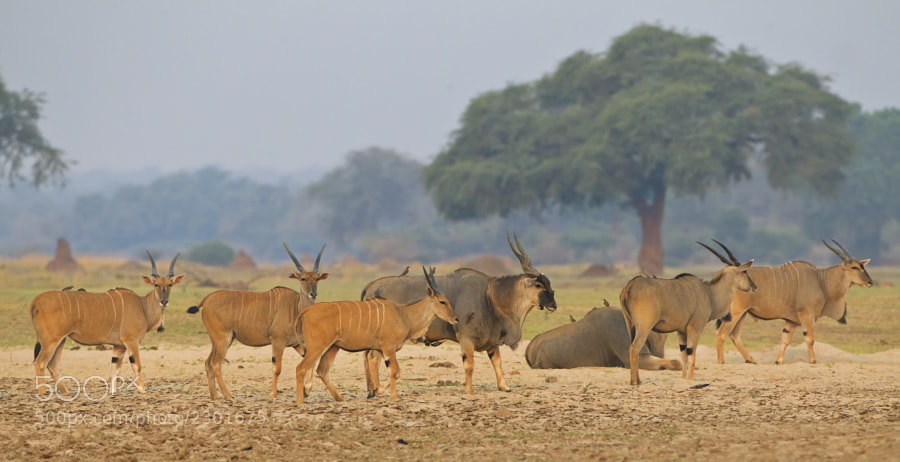 It is not often you find relaxed Eland, but these were. Taken in Chikwenya concession, Zimbabwe 14th September 2011.