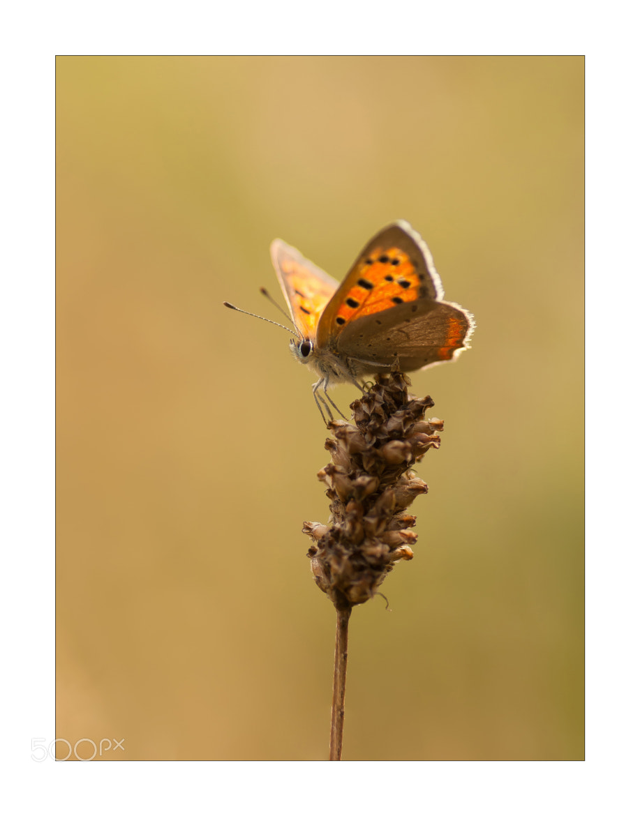 Photograph Small copper by Bas Mandos on 500px