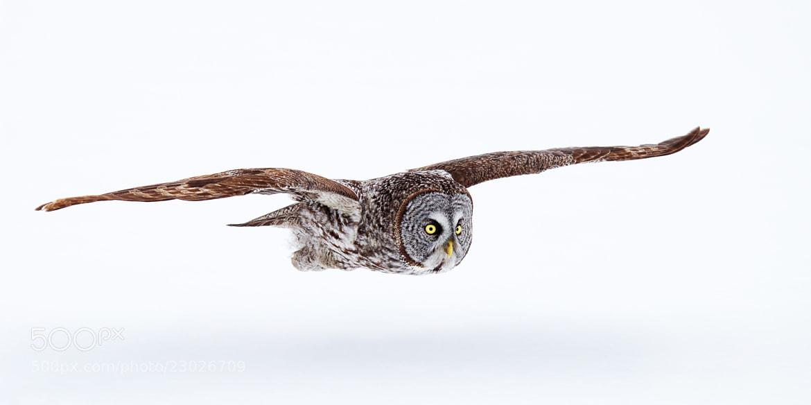 Photograph Low Flyer - Great Grey Owl by Jim Cumming on 500px
