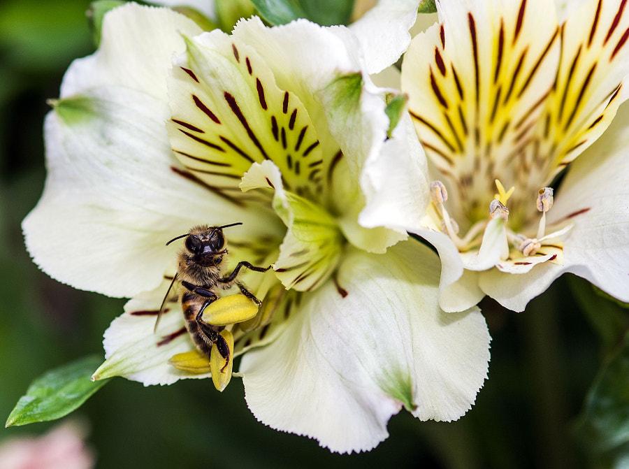Feeding bee by Ashraf Saleh on 500px.com