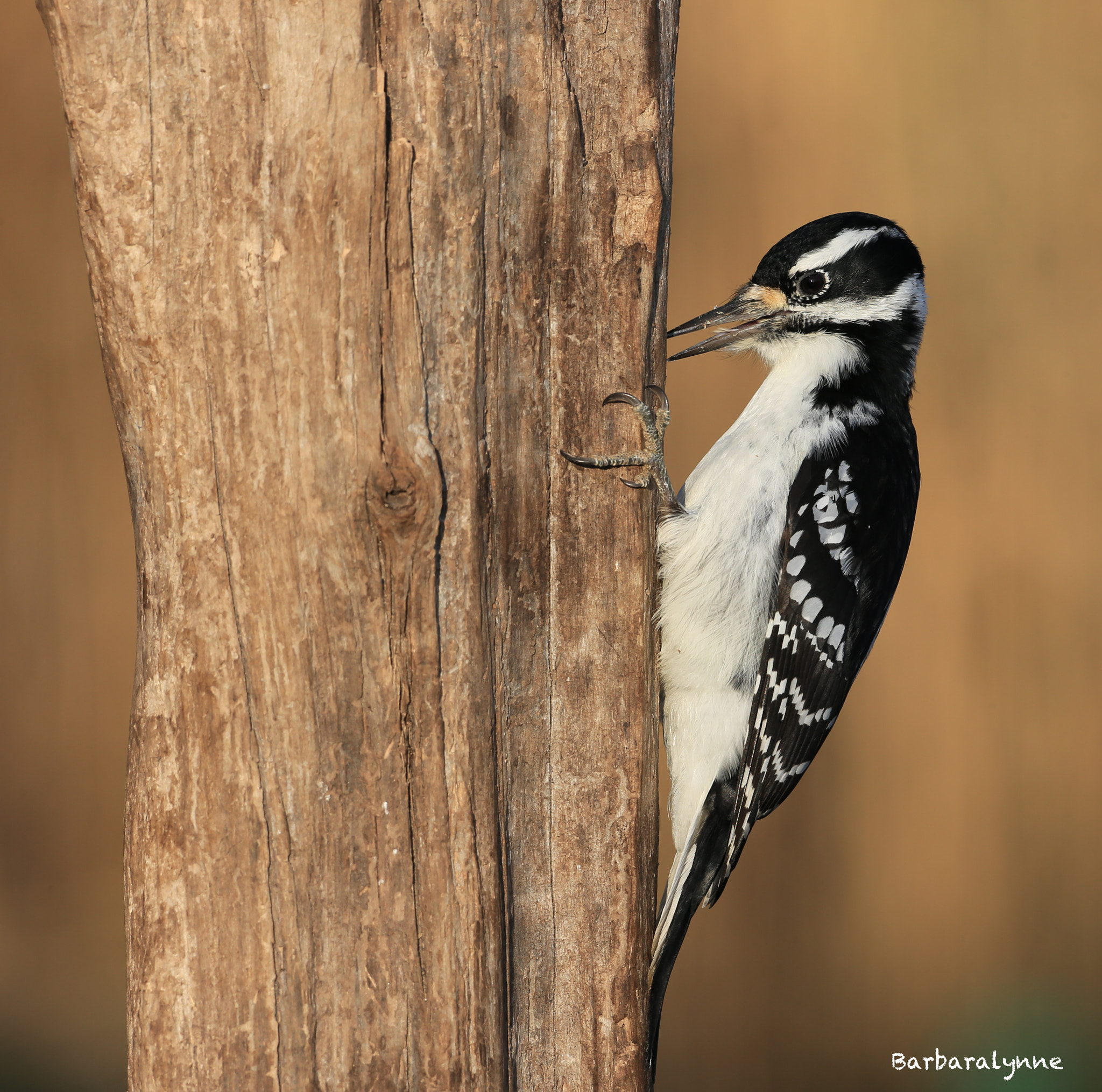 Photograph Female Hairy Woodpecker at sunset by Barb D'Arpino on 500px