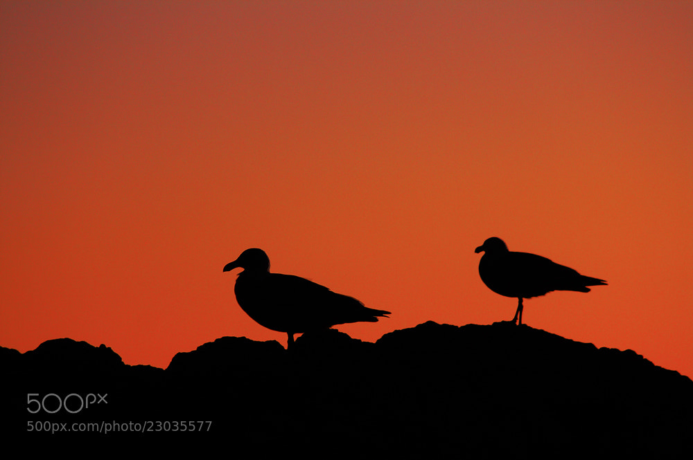 Photograph Sunset with Seagulls by Carsten Meyerdierks on 500px