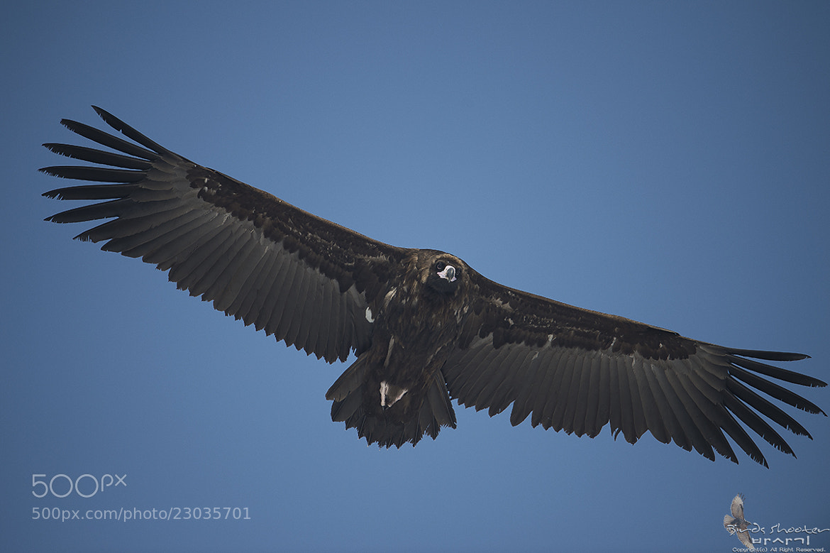 Photograph Vulture by basaki 바사기 on 500px