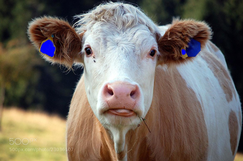 Photograph Cow ( Kuh ) by Petra Wiedenbrück on 500px