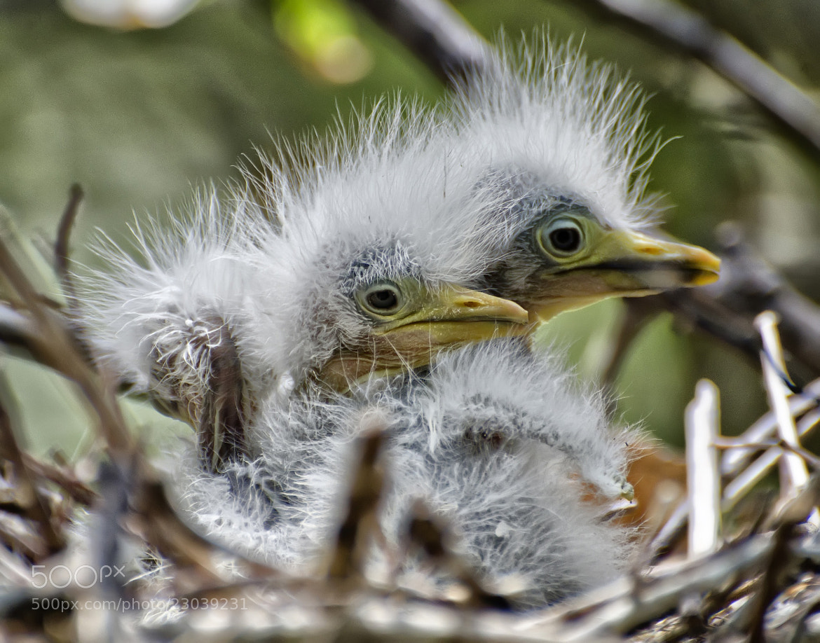 Photograph Newborn Egrets by Jeff Clow on 500px