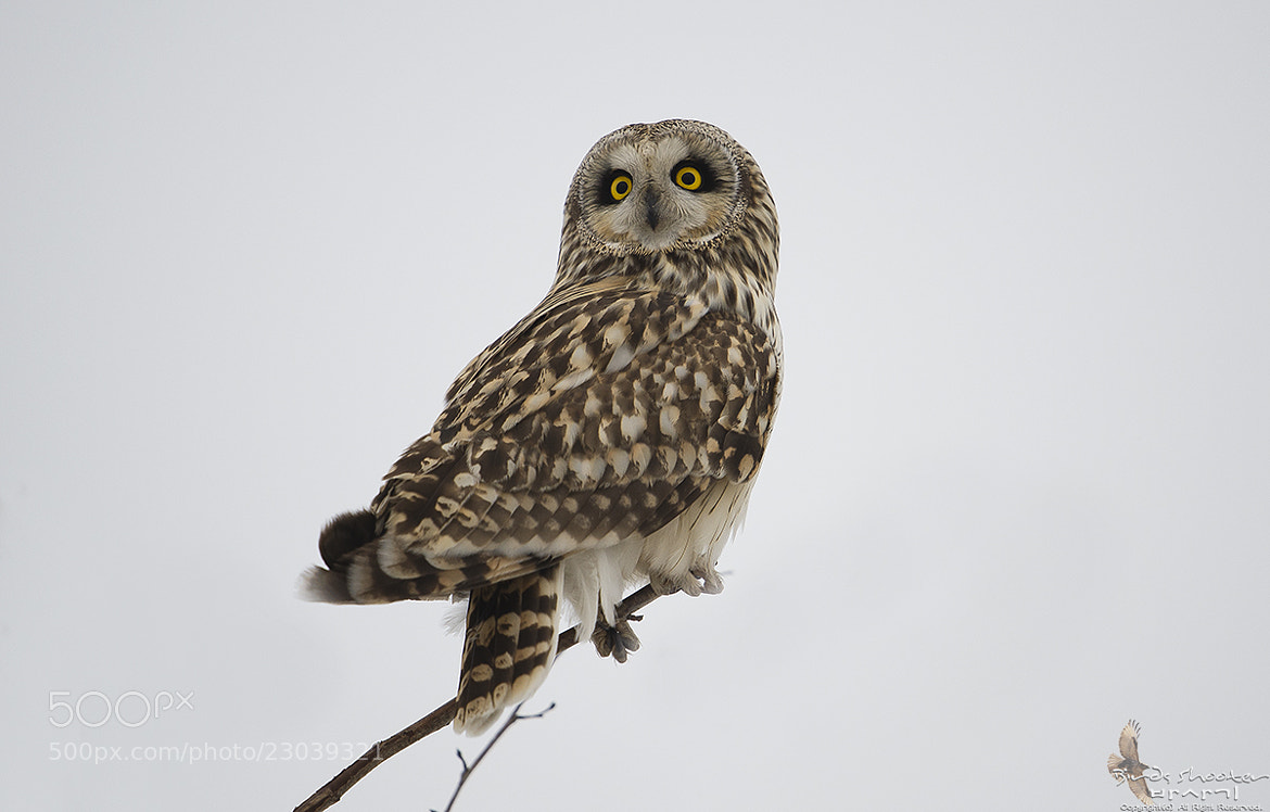 Photograph Short eared owl by basaki 바사기 on 500px