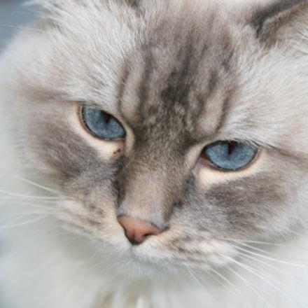 Neva Masquarade - Siberian Cat