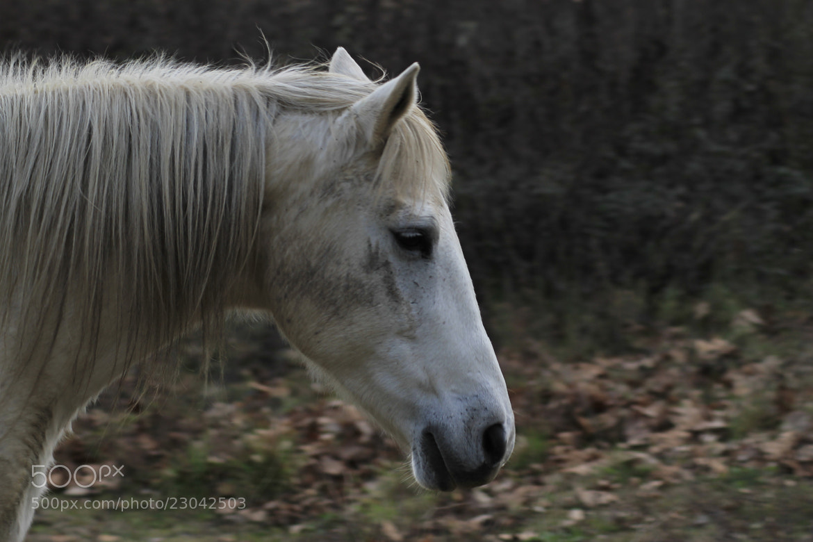 Photograph Profile of a horse by richard cauchy on 500px