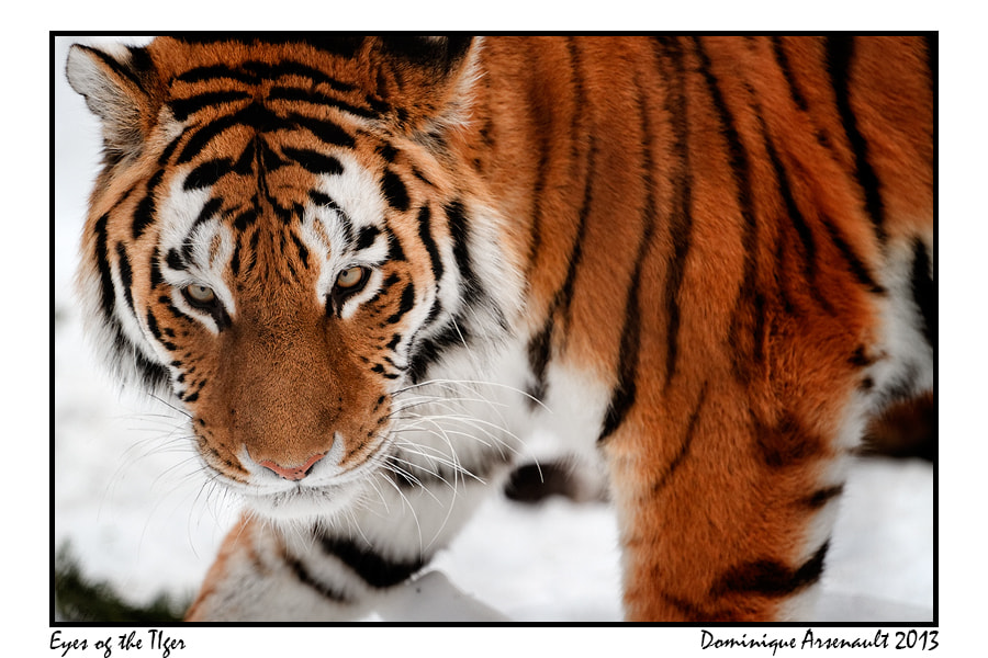 Photograph Eyes of the Tiger by Dominique Arsenault on 500px