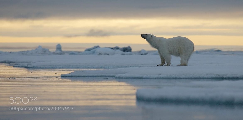 Photograph Polar bear at sunset. by Ivan Starastin on 500px