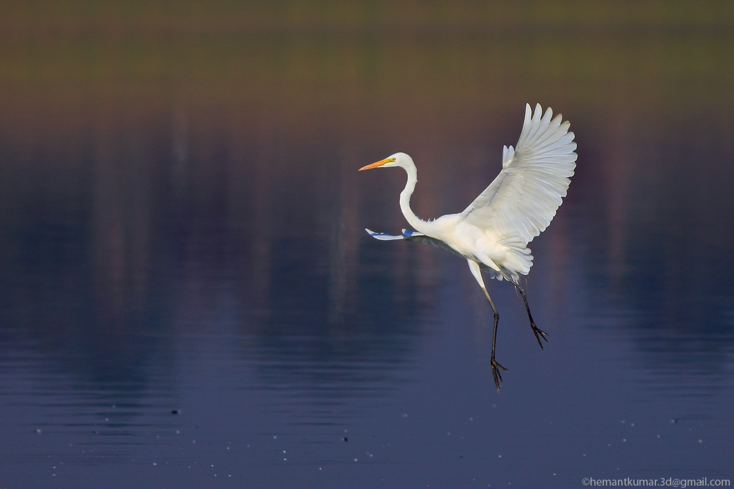 Photograph Egret by Hemant Kumar on 500px