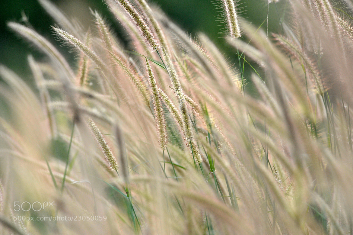 Photograph Rosy Pink Grass by Pippins P. on 500px
