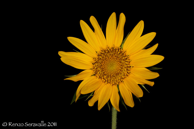 Photograph Sunflower by Renzo  Seravalle on 500px