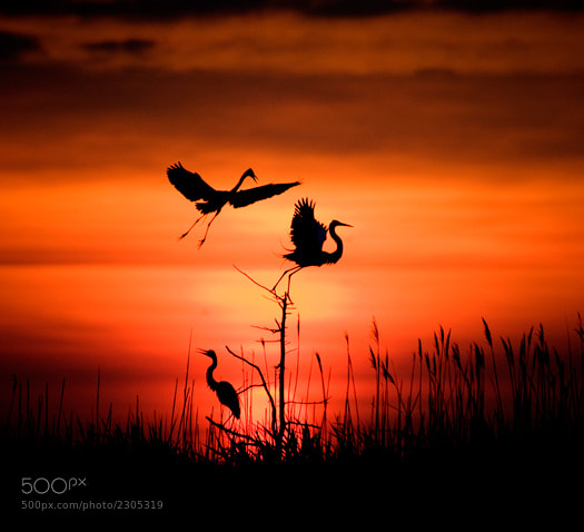 Photograph Early Morning Egrets by Pamela Aquilani on 500px