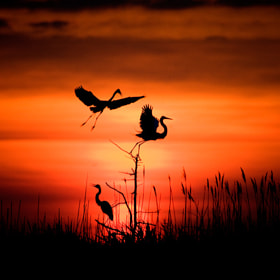 Early Morning Egrets by Pamela Aquilani (PamelaAquilaniPhotography)) on 500px.com