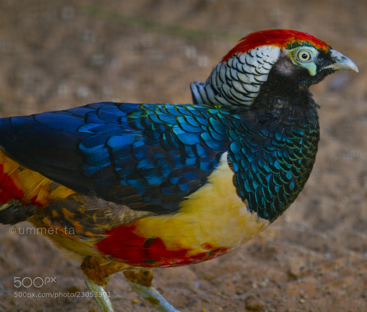Photograph Lady Amherst's Pheasant bird by Artist Ummer Ta  on 500px