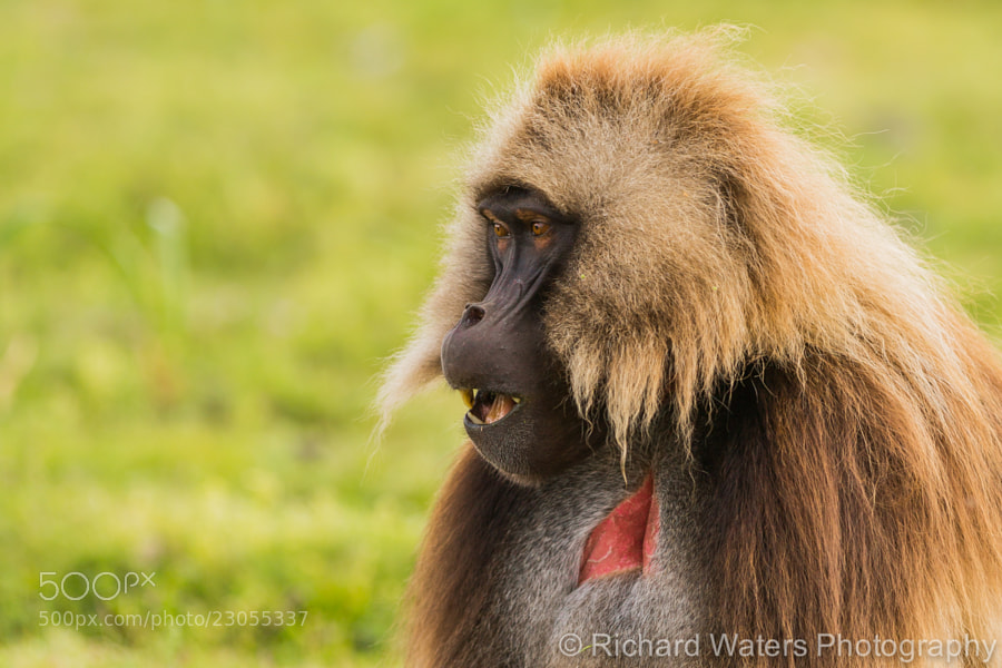 Photograph Gelada Baboon by Richard Waters on 500px