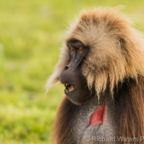Gelada Baboon by Richard Waters (RichardWaters)) on 500px.com