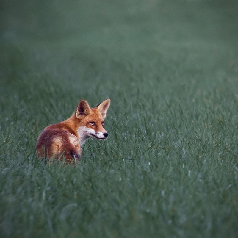Photograph Fox by Carsten Meyerdierks on 500px