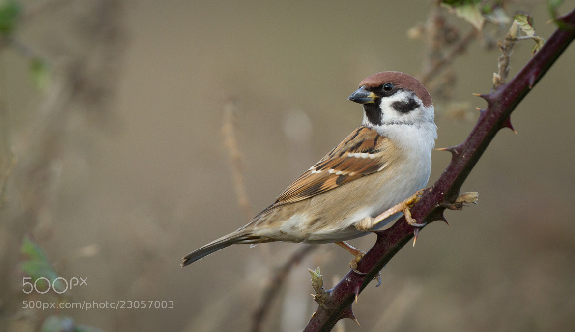Photograph Tree Sparrow by Ian Billenness on 500px